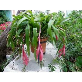 گل بیلبرجیا گلدانی