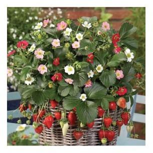 بذر توت فرنگی رنگین کمان