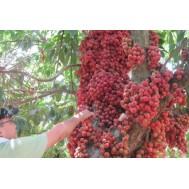 نهال جابوتیکابا  قرمز ویتنامی