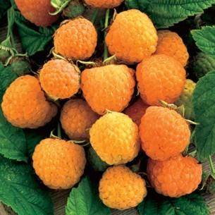 بذر رزبری نارنجی