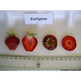 بذر توت فرنگی ارليگلو