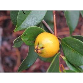 بذر گواوا توت فرنگی زرد (guava strawberry yellow)