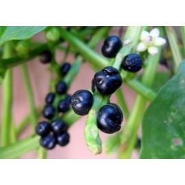 بذر تمشک گیلاسی ویتنامی
