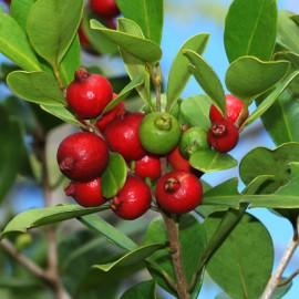 بذر گواوا توت فرنگی guava strawberry