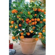 بذر نارنج مینیاتوری استرالیایی