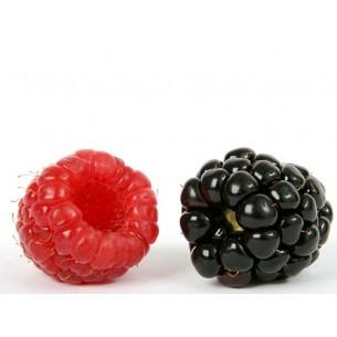 نهال تمشک خارجی میوه درشت