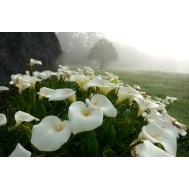 گل شیپوری سفید هلندی