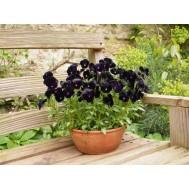 بذر گل اطلسی سیاه
