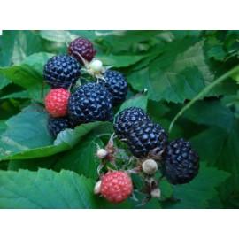 بذر رزبری سیاه کانادایی (black raspberry)