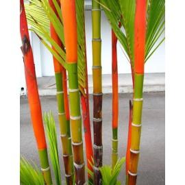 بذر نخل قرمز Red Palm