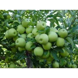 نهال سیب جنگل