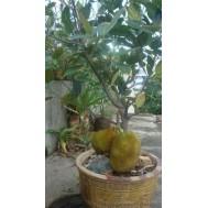 نهال جک فروت  ویتنامی میوه 50 کیلویی پیوندی