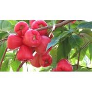 نهال سیب آبی یا میوه زنگوله ای صورتی