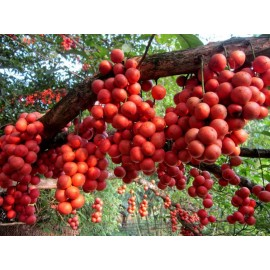 نهال انگور برمه قرمز پیوندی