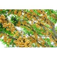 نهال انگور برمه زرد پیوندی