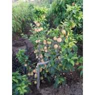 نهال سیب پایه رویشی گلدن چیف