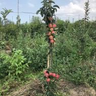 نهال سیب صورتی پایه رویشی - pink lady apple