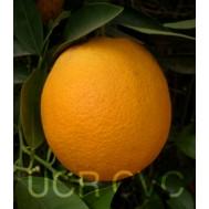 نهال پرتقال هاملین آریزونا