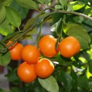 نهال نارنگی کالاموندین