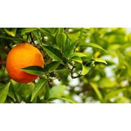 نهال پرتقال عربیک