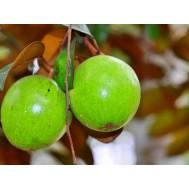 نهال سیب ستاره ای یا میلک فروت سبز پیوندی