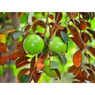 نهال سیب ستاره ای سبز