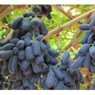 نهال انگور انگشتی امریکایی نایاب