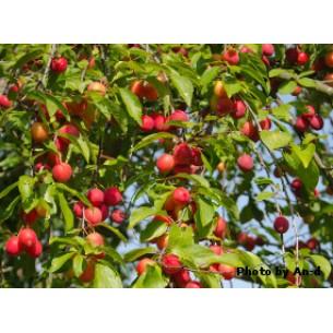 نهال آلو گیلاسی Cherry plum