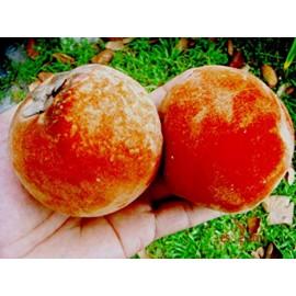 نهال سیب مخملی یا خرملو مخملی