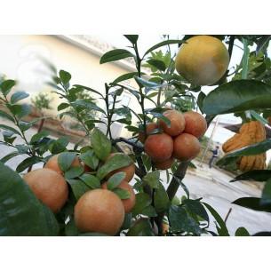 نهال لیمو ترش خونی ویتنام