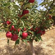 نهال سیب گالا امریکایی