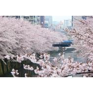 نهال ساکورا یا گیلاس ژاپنی سفید نایاب