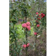 نهال سیب مینیاتوری