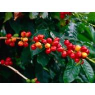 نهال قهوه روبوستا غرب آفریقا