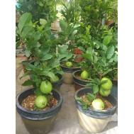 نهال گواوا سبز داخل سفید پیوندی (با میوه)