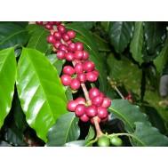 نهال قهوه لیبریا
