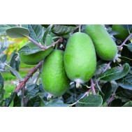 نهال فی جوا (فیجی) Feijoa Sellowiana