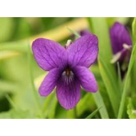 بذر بنفشه - Violet