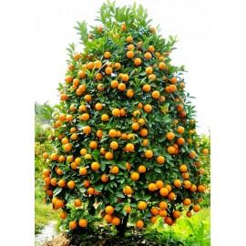 نهال نارنگی پربار اسرائیلی