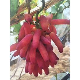 بذر انگور انگشتی قرمز