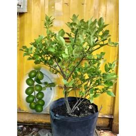 نهال لیمو ترش خوشه ای استرالیایی