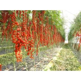 بذر گوجه فرنگی خوشه ای داترینو