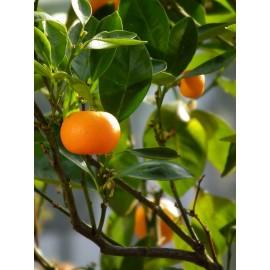 نهال نارنگی پاکوتاه میاگاوا