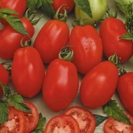 بذر گوجه فرنگی ریوگرند