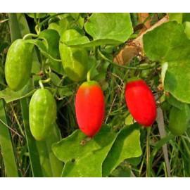 بذر خیار قرمز (cucurbitaceae)