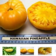 بذر گوجه زرد آناناسی هاوایی