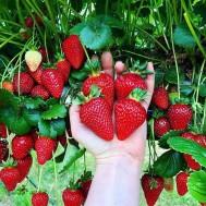 نهال توت فرنگی چهار فصل