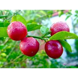 نهال لایم بِری (limeberry)