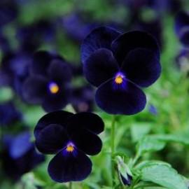 بذر گل بنفشه مشکی خوراکی