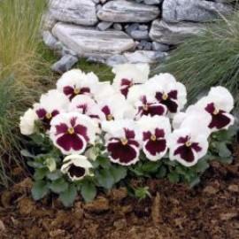 بذر گل بنفشه سفید خالدار خوراکی